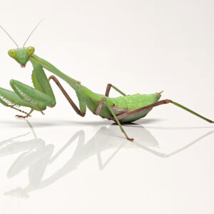 African Lined Mantis