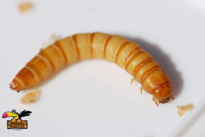 MEALWORMS-ConvertImage-ConvertImage