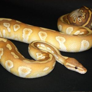 Spinner Mojave Ball Python