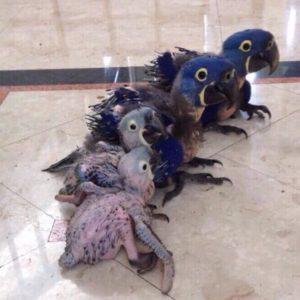 Baby Hyacinth Macaw21