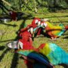 Green Wing Macaw4