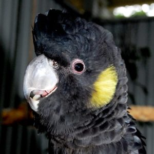 Yellow Tail Black Cockatoo