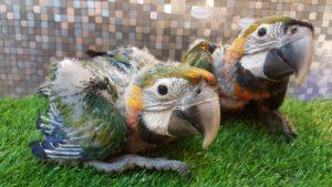 Baby Catalina Macaw2