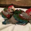 Baby Green Wing Macaw