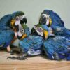 Blue and Gold Baby Macaw1