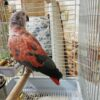 Red Factor African Grey Parrot.
