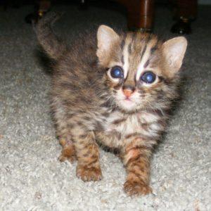 Asian Leopard Cat Cub