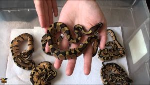 BABY-ENCHI-ORANGE-GHOST-BALL-PYTHON-ConvertImage-ConvertImage