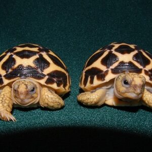 Baby Indian Star Tortoise