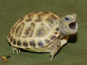 BABY-RUSSIAN-TORTOISE-ConvertImage-ConvertImage