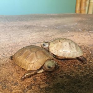 Baby Elongated Tortoise1