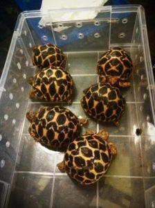 Baby Indian Star Tortoise1