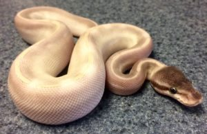 Baby Purple Passion Ball Python