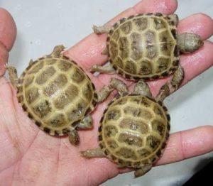Baby Russian Tortoise1