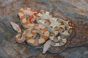 Baby Sunglow Boa Constrictor2