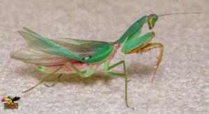 Malaysian-Blue-Mantis-ConvertImage