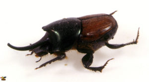 Rhinoceros-Beetles-ConvertImage