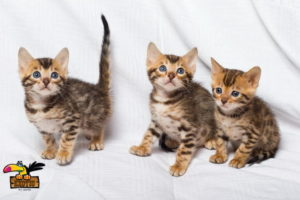 Bengal-kitten-ConvertImage