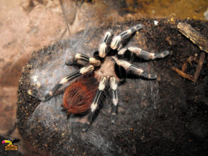 Brazilian-Red–White-Tarantula-ConvertImage