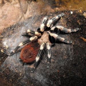 Brazilian Red & White Tarantula