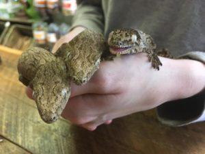 Caledonian Giant Gecko