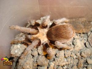 Chaco-Mousy-Brown-Tarantula-ConvertImage