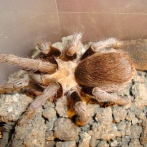Chaco Mousy Brown Tarantula