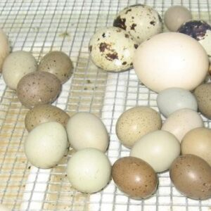 Ringneck Doves Eggs