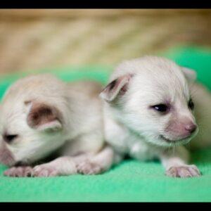 Fennec Fox Pup