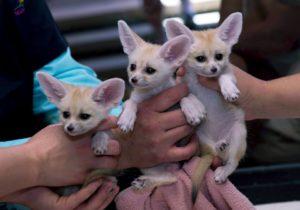 Fennec Fox Pup1