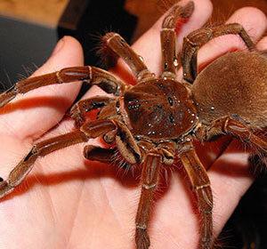 Goliath Birdeating Spiders