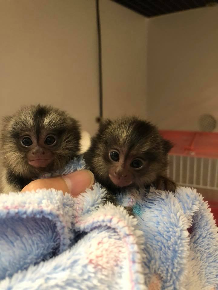Buy Marmoset Monkey Online | Marmoset Monkey For Sale