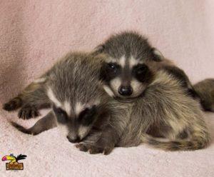 Raccoon-ConvertImage