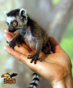 Ring-Tailed-Lemur-ConvertImage