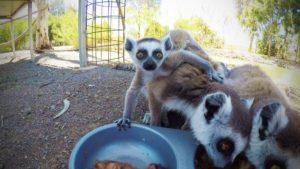 Ring Tailed Lemur1