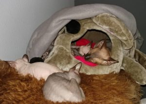 Sphynx Kitten2