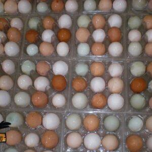 Macaw Parrots Eggs