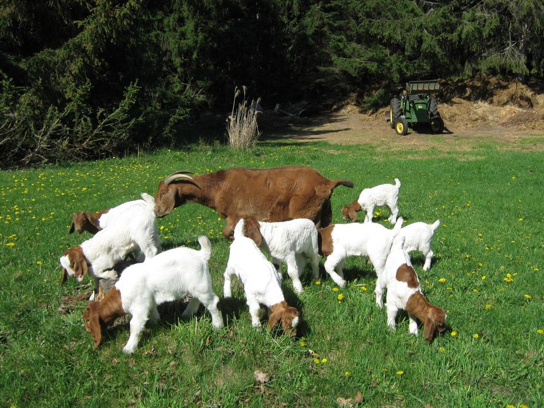 Buy Boer Goat Online   Mail order Boer Goat Online   Boer ... - photo#29