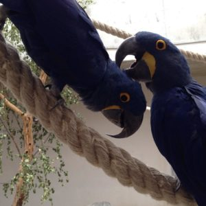 Hyacinth Macaw Parrot,.,