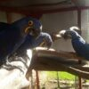 Hyacinth Macaw Parrot.