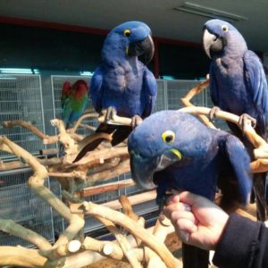 Hyacinth Macaw Parrot,.