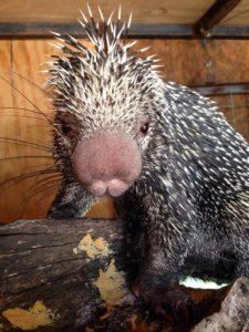 Prehensile Tailed Porcupine1