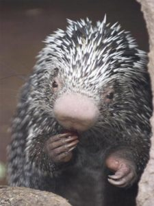 Prehensile Tailed Porcupine2