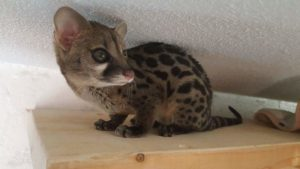Spotted Genet1