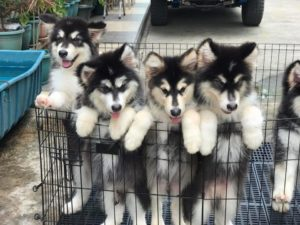Alaskan Malamute Puppies1