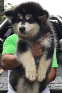 Alaskan Malamute Puppies5