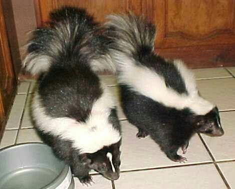 Buy Baby Skunks Online   Mail Order Baby Skunks Online ...