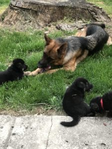 German Shepherd Puppies2