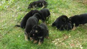 German Shepherd Puppies4