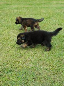 German Shepherd Puppies6